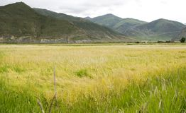 Wheat field. A large aera of wheat field in a mountain area Stock Photography