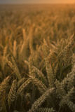 Wheat field. Golden wheat close up in a field royalty free stock photos
