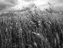 Wheat field. A wheat field in black and white stock photo