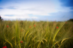 Wheat Field. Blured wheat field and poppys against evening sky Stock Photos