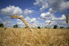 Wheat in a Field. Close-up photo of wheat against a summer sky royalty free stock images