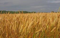 Wheat Field. With Dark Morning Sky stock image
