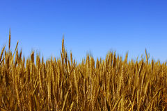 Wheat field Stock Photo
