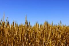 Wheat field. Over blue sky Stock Photo