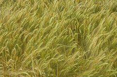 Wheat field. Close view of wheat field Royalty Free Stock Photos