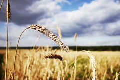 Wheat field. Ear against ripening wheat field and cloudy sky Royalty Free Stock Photos