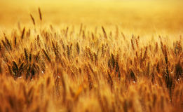 Wheat field Royalty Free Stock Photography