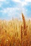 Wheat field. Against the blue sky Stock Photo