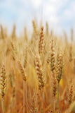 Wheat field. Against the blue sky Royalty Free Stock Photos
