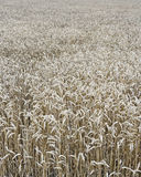 Wheat field. Background photo of a field of wheat Royalty Free Stock Image