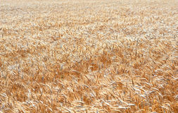 Wheat Field. Beautiful Image of Golden Wheat Field.Harvest concept Royalty Free Stock Image