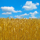 Wheat field. In hot summer weather stock images