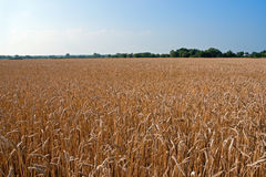 Wheat field Stock Photography