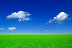 The wheat field. The green field and beautiful white clouds Stock Photography
