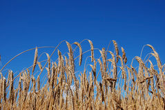 A Wheat field. A grain field before blue sky Royalty Free Stock Image