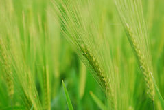 Wheat Field. Closeup of Wheat Field with soft background Royalty Free Stock Photo