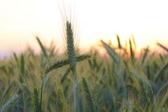 Wheat field. Two ears of wheat form a cross in the field of wheat stock images