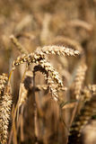 Wheat in the field Stock Photography