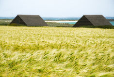 Wheat field. Glimpse of a wheat field near a beach, characteristic of the area east of Sardinia.The buildings are typical fishermen's huts Stock Image