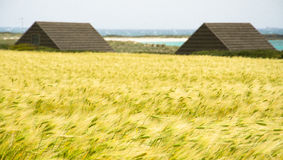 Wheat field. Glimpse of a wheat field near a beach, characteristic of the area east of Sardinia.The buildings are typical fishermen's huts Royalty Free Stock Photos