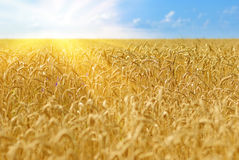 Wheat field. Golden wheat field under sunny blue sky Royalty Free Stock Images