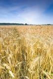 Wheat field Stock Image
