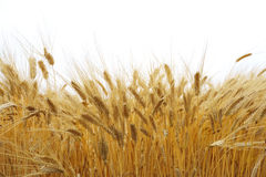Wheat field. Riped wheat field in autumn Royalty Free Stock Photography