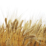 Wheat field. Close up riped wheat field for background Stock Photos