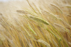 Wheat field. Close up wheat field for background Stock Photography