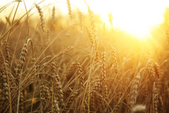 Wheat field. Ripening ears of wheat field on the background of the setting sun Stock Images