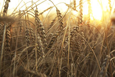 Wheat field. Ripening ears of wheat field on the background of the setting sun Royalty Free Stock Photos