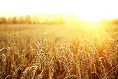 Wheat field. Ripening ears of wheat field on the background of the setting sun Royalty Free Stock Images