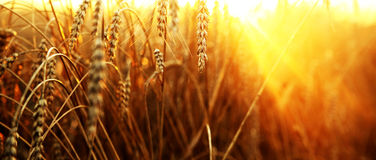 Wheat field. Ripening ears of wheat field on the background of the setting sun Stock Photos
