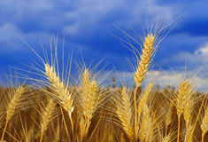 Wheat on the field Royalty Free Stock Photos