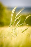 Wheat in a field Royalty Free Stock Photos