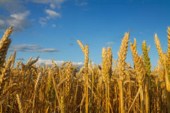 Wheat field. Field of wheat under the blue sky stock images
