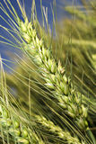 Wheat on the field Stock Image