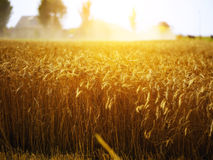 Wheat field. At sunset at a dutch farmhouse Stock Photo