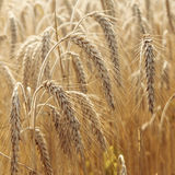 Wheat field. In summer close up Stock Photography