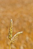 Wheat in a field Stock Images