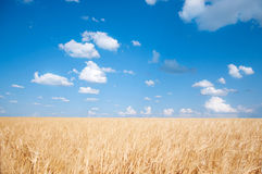 Wheat field. Yellow wheat field against bright blue sky with white clouds Stock Photography