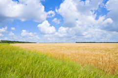 Wheat field. And cloudy sky Royalty Free Stock Image