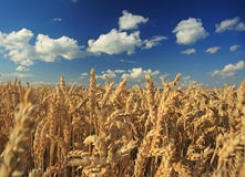 Free Wheat Field Stock Images - 25866864