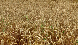 Wheat field. By Beckingen, Saarland - Germany.  Panorama - stitched Royalty Free Stock Photography