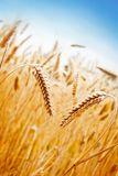 Wheat Field. Ears of golden wheat on the background of wheat field Royalty Free Stock Photo