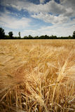 Wheat field. Golden wheat field in summer royalty free stock photo
