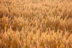 Wheat field. The wheat field in sunlight Stock Photos