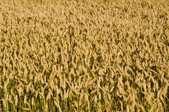 Wheat field. As a background stock image