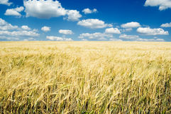 The wheat field. The wheat field and blue sky Stock Photography