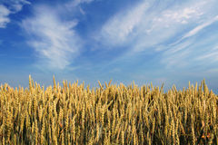 Wheat field. Beautiful wheat field almost ready for harvest under blue sky with some clouds royalty free stock image